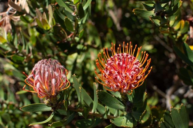 Selektiver fokusschuss der nahaufnahme eines rosa zuckerbusches unter sonnenlicht