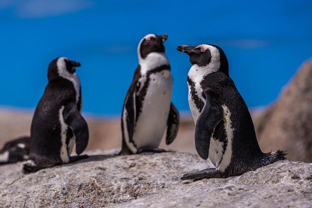 Selektiver fokusschuss der nahaufnahme von niedlichen pinguinen, die in kap der guten hoffnung, kapstadt heraushängen