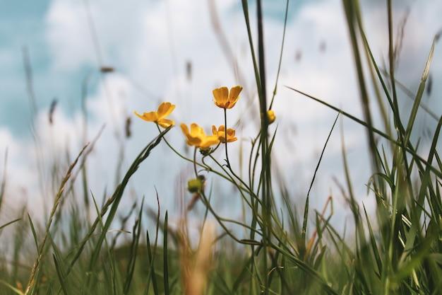Selektiver fokusschuss der schönen kleinen gelben blumen, die unter dem grünen gras wachsen