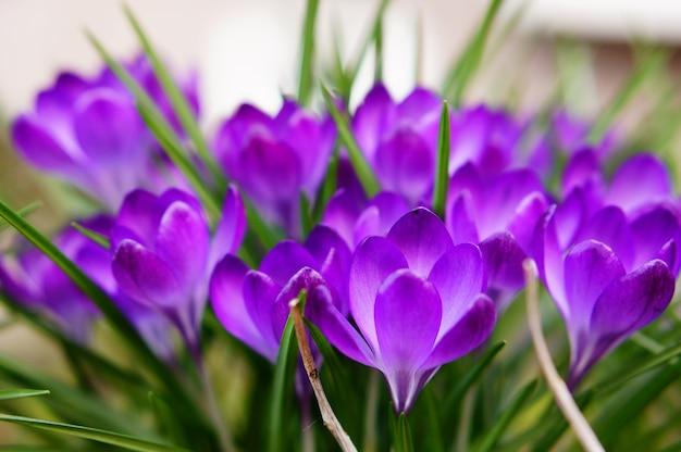 Selektiver fokusschuss der schönen lila frühlingskrokusse