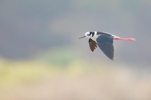 Selektiver fokusschuss des fliegenden schwarzflügeligen stelzens auf glattem grauem hintergrund