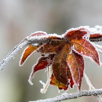 Selektiver fokusschuss des schönen herbstlaubs bedeckt mit frost mit einem verschwommenen hintergrund