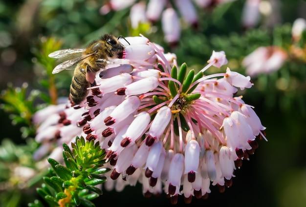 Selektiver fokusschuss einer biene, die pollen von mediterranen heideblumen (erica multiflora) sammelt