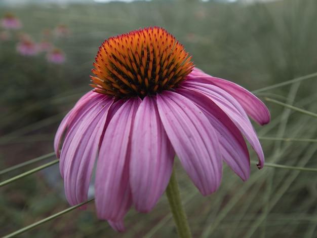 Selektiver fokusschuss einer echinacea-blume, die im garten blüht