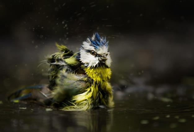 Selektiver fokusschuss einer eurasischen blaumeise, die im wasser badet