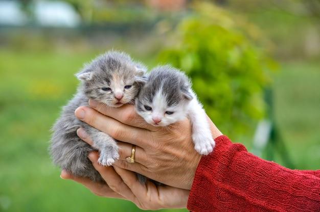 Selektiver fokusschuss einer frau, die kleine niedliche kätzchen hält
