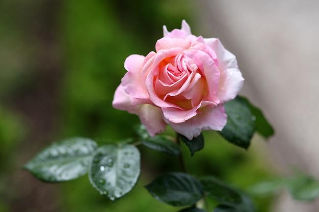Selektiver fokusschuss einer rosa rosenblüte