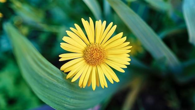 Selektiver fokusschuss einer schönen gelben gänseblümchenblume, die in einem garten gefangen genommen wird