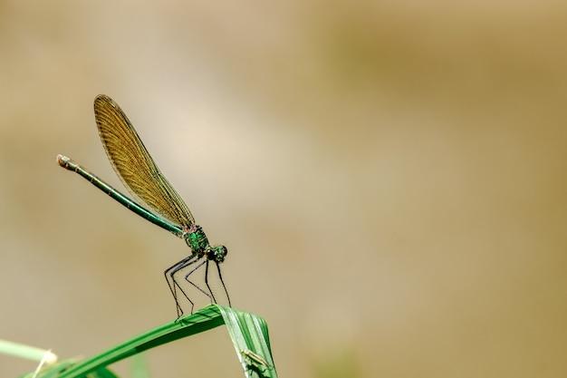 Selektiver fokusschuss eines damselflys, der auf einem grasblatt mit unscharfem hintergrund sitzt