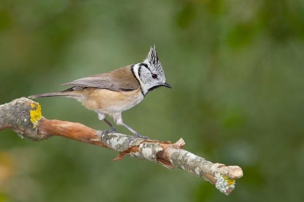 Selektiver fokusschuss eines europäischen haubenmeisenvogels auf einem zweig