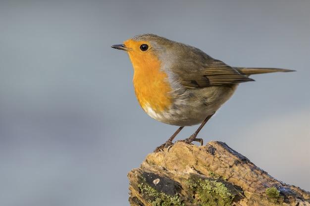 Selektiver fokusschuss eines europäischen robin, der auf einem moosigen felsen mit einem verschwommenen grauen hintergrund sitzt