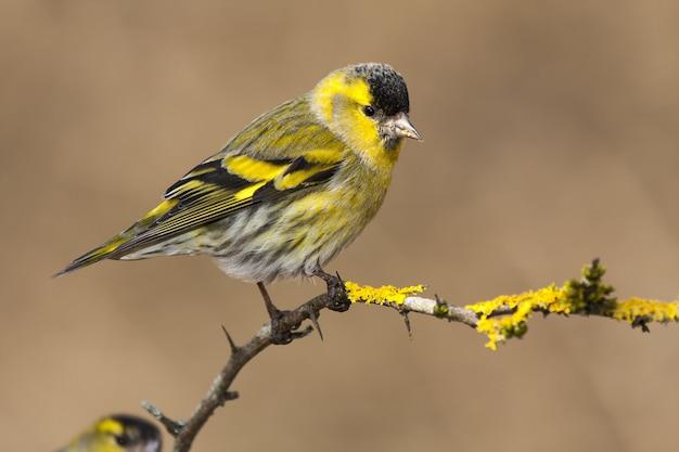 Selektiver fokusschuss eines exotischen gelben und schwarzen vogels auf dem denkzweig eines baumes