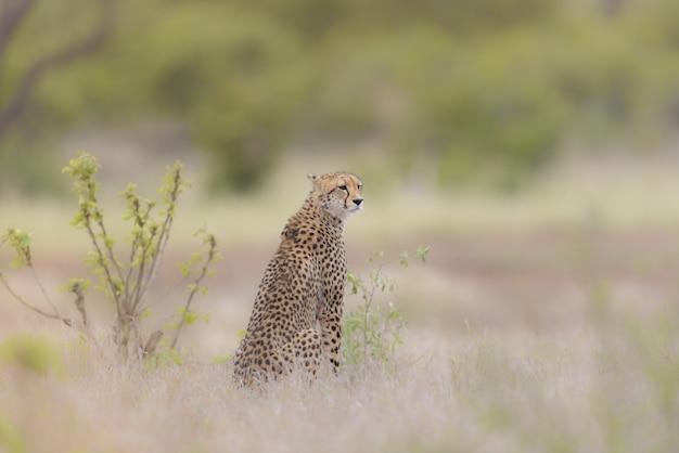 Selektiver fokusschuss eines geparden, der in einem trockenen grasfeld sitzt, während er sich umsieht
