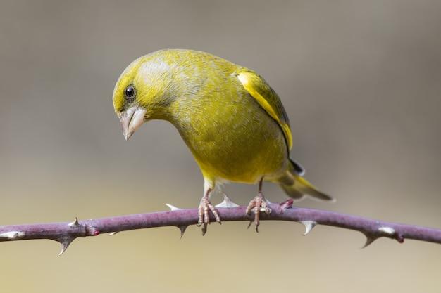 Selektiver fokusschuss eines grünfinkvogels, der auf einem dornigen zweig mit einem unscharfen hintergrund thront