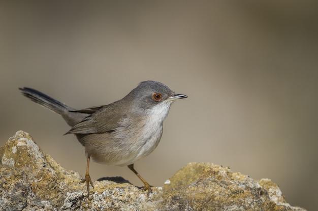 Selektiver fokusschuss eines kleinen braunen vogels, der am rand eines verwitterten steins sitzt