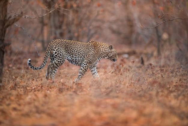 Selektiver fokusschuss eines leoparden, der im wald geht