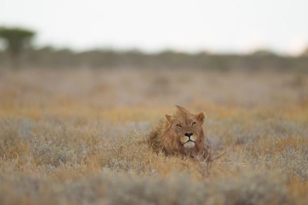 Selektiver fokusschuss eines löwenkopfes, der aus einem grasfeld herausragt
