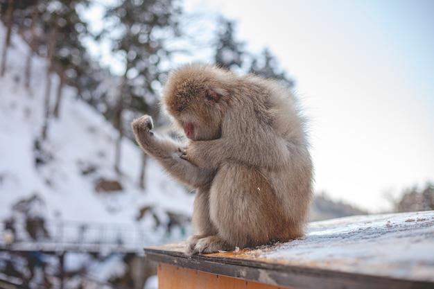 Selektiver fokusschuss eines makakenaffen, der seinen arm betrachtet