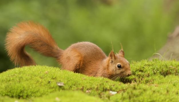 Selektiver fokusschuss eines niedlichen braunen fuchs-eichhörnchens