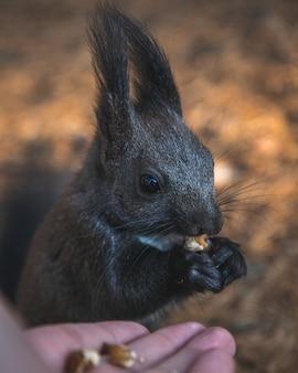 Selektiver fokusschuss eines niedlichen eichhörnchens mit quastenohren, das sein essen mit einem unscharfen hintergrund isst