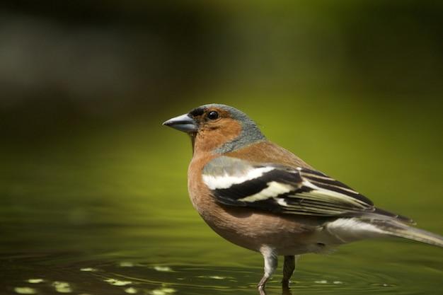 Selektiver fokusschuss eines niedlichen finkenvogels