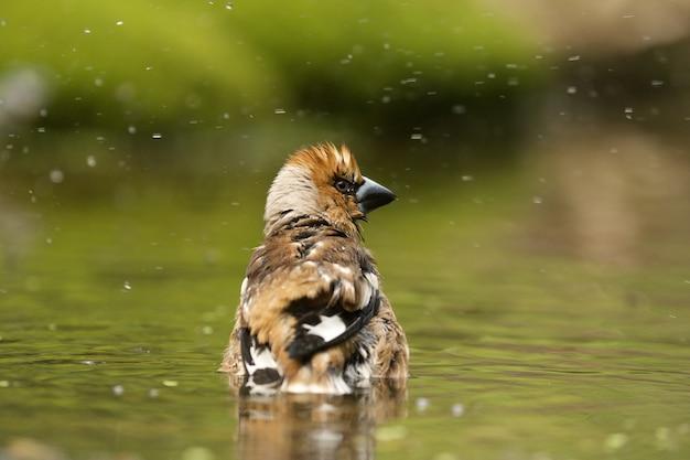 Selektiver fokusschuss eines niedlichen hawfinchvogels