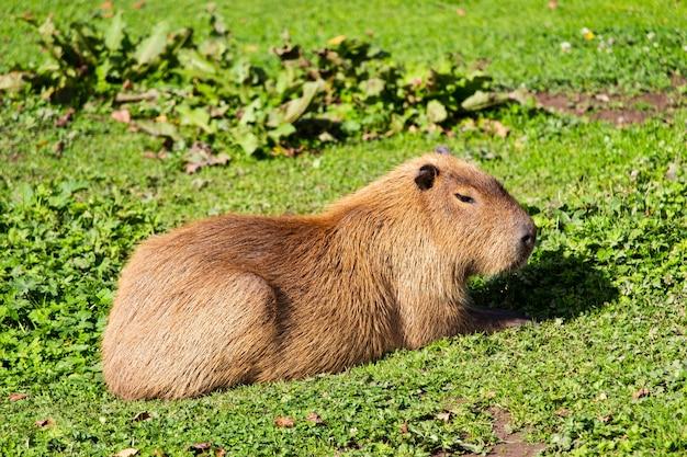 Selektiver fokusschuss eines niedlichen murmeltiers punxsutawney phil, das auf grünem gras sitzt
