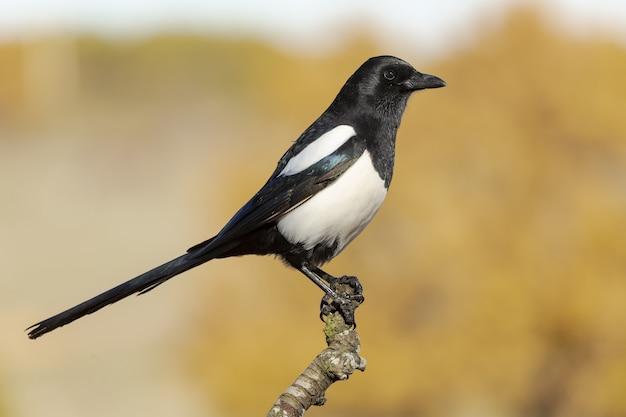 Selektiver fokusschuss eines schönen elstervogels, der auf einem zweig thront