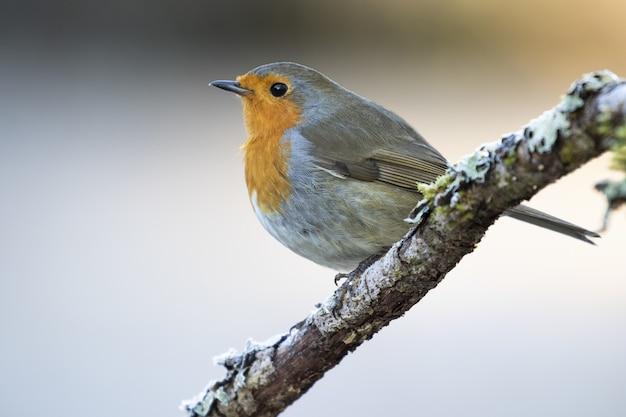 Selektiver fokusschuss eines schönen europäischen robin, der auf einem ast sitzt
