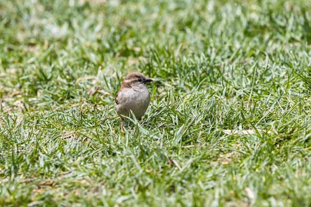 Selektiver fokusschuss eines schönen kleinen sperlings, der auf dem grasbedeckten feld sitzt
