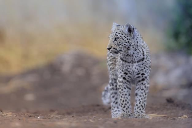 Selektiver fokusschuss eines schönen schneeleoparden
