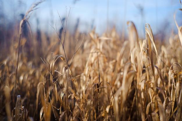 Selektiver fokusschuss von getrocknetem gras an einem sonnigen tag