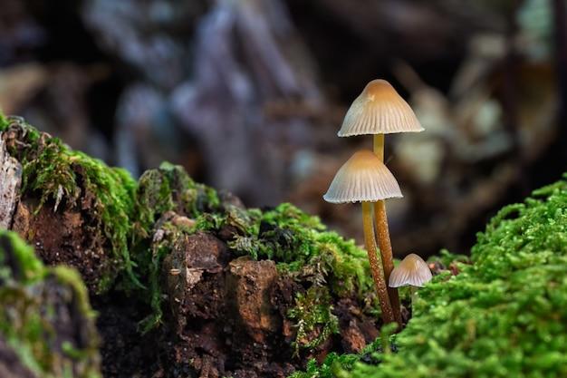 Selektiver fokusschuss von kleinen wilden pilzen, die in einem wald wachsen