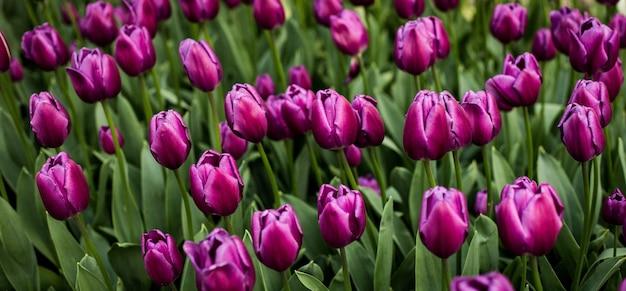 Selektiver fokusschuss von lila tulpen, die in einem feld blühen