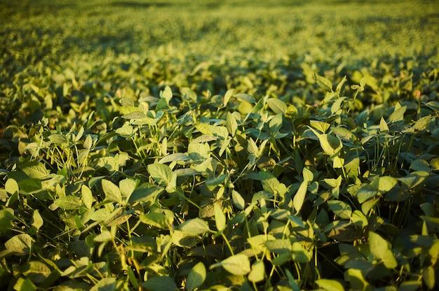 Selektiver fokusschuss von pflanzen mit grünen blättern auf dem feld während des tages