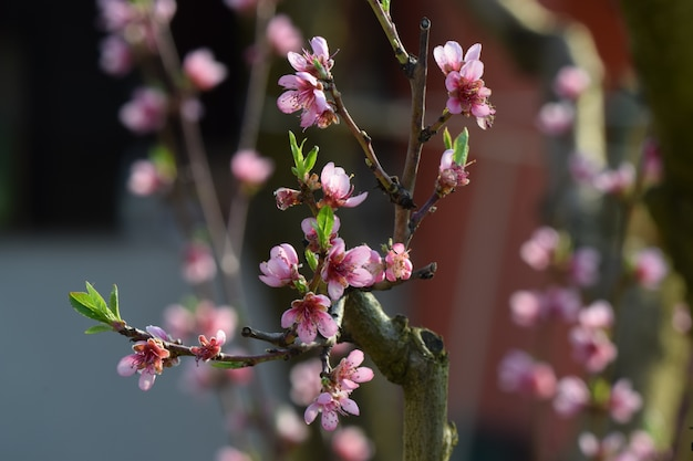 Selektiver fokusschuss von rosa blütenzweigen im frühjahr