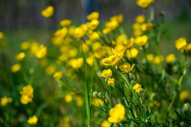 Selektiver fokusschuss von schönen gelben blumen auf einem grasbedeckten feld