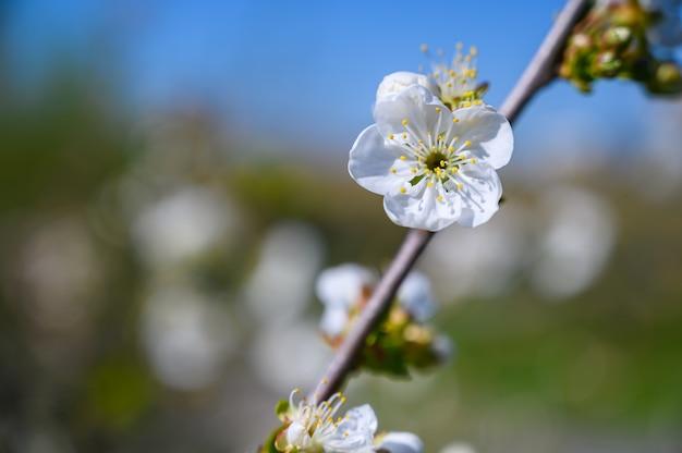 Selektiver fokusschuss von schönen weißen blüten auf einem zweig in der mitte eines gartens