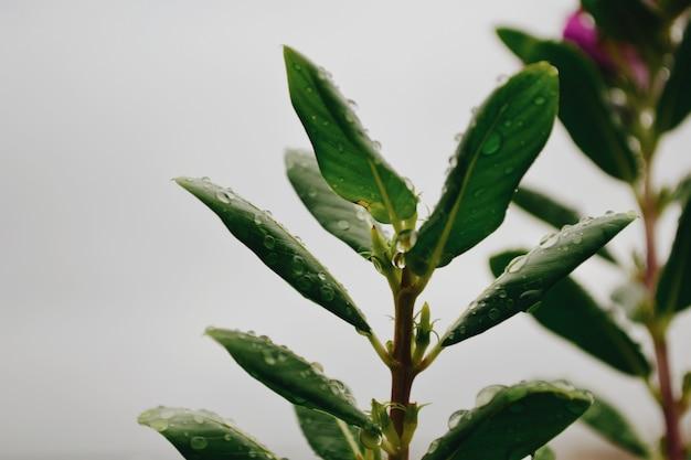 Selektiver fokusschuss von tautropfen auf einer camellia sinensis, die verwendet wird, um tee zu machen