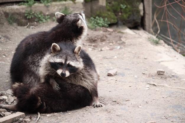 Selektiver fokusschuss von waschbären, die herumspielen