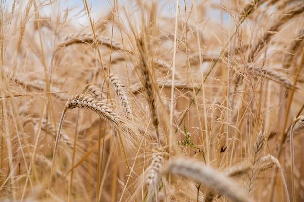 Selektiver fokusschuss von weizenpflanzen auf dem feld mit einem unscharfen hintergrund