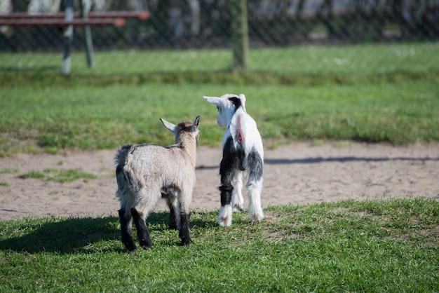 Selektiver fokusschuss von whippet-hunden, die an einem schönen tag mitten in einem park gehen