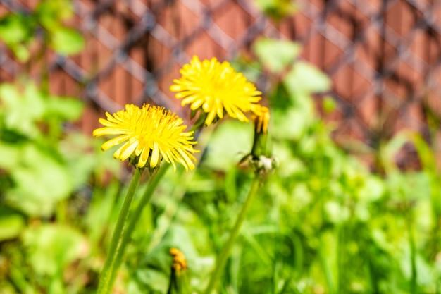 Selektiver fokusschuss von zwei gelben löwenzahn, die vor dem verschwommenen zaun wachsen