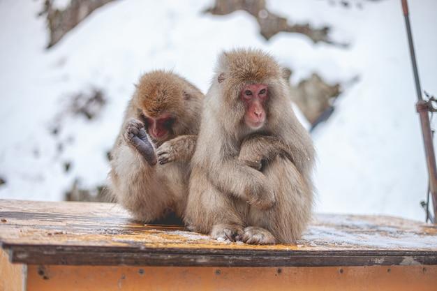 Selektiver fokusschuss von zwei makaken, die auf einem holzbrett sitzen
