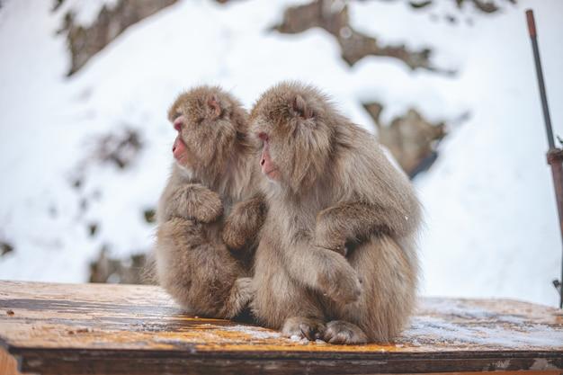 Selektiver fokusschuss von zwei makakenaffen, die nahe beieinander sitzen