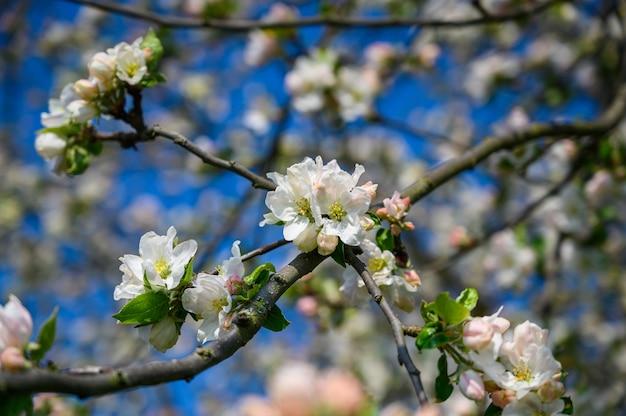Selektiver nahaufnahmefoto der nahaufnahme einer erstaunlichen kirschblüte unter sonnenlicht
