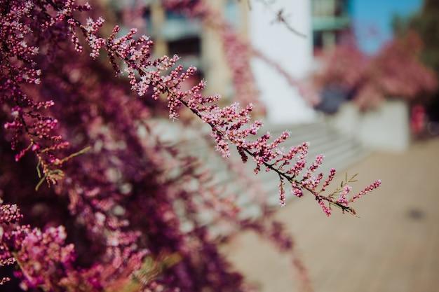 Selektiver schuss eines sehr einzigartigen und schönen baumes mit kleinen rosa blumen an einem sonnigen tag