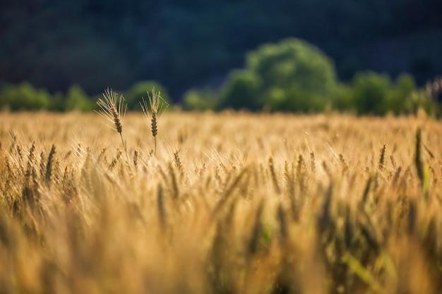 Selektiver schuss von goldenem weizen in einem weizenfeld