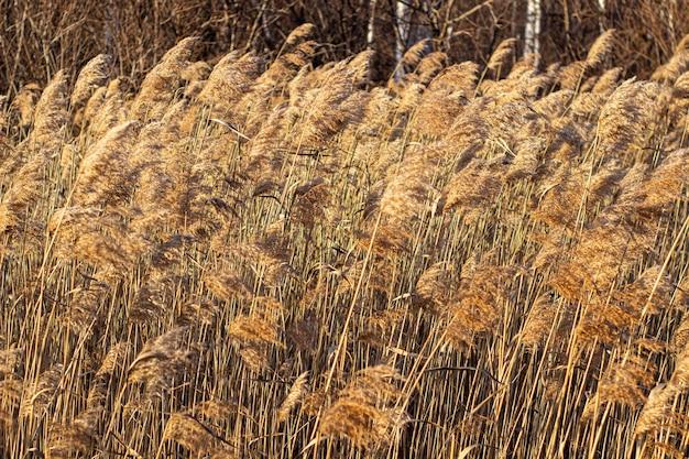 Selektiver weichzeichner von trockenem gras, schilf, stielen, die bei goldenem sonnenuntergang im wind wehen, natur, sommer, graskonzept