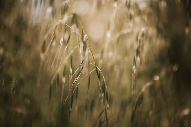 Selektiver weichzeichner von trockenem gras, schilf, stielen, die im wind bei goldenem sonnenuntergangslicht wehen